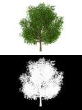 Albero di quercia isolato con l'alfa canale Fotografie Stock Libere da Diritti