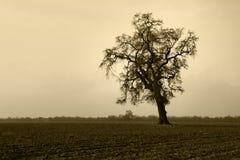 Albero di quercia nudo invecchiato in nebbia di inverno Immagini Stock Libere da Diritti