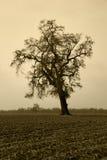 Albero di quercia nudo invecchiato in nebbia di inverno Immagine Stock