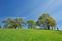 Albero di quercia in primavera immagine stock
