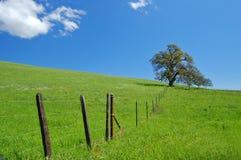 Albero di quercia in primavera fotografia stock