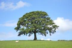 Albero di quercia in primavera Immagini Stock Libere da Diritti