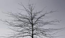 Albero di quercia ramificato di Pin Immagini Stock