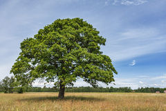 Albero di quercia solo Fotografie Stock Libere da Diritti