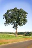 Albero di quercia in un campo Fotografia Stock