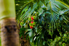Albero di Rambutan Fotografie Stock