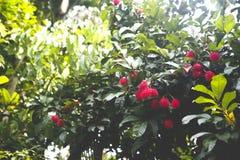 Albero di Rambutan Fotografia Stock