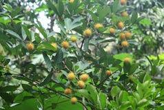 Albero di Rambutan con i frutti di maturazione Fotografia Stock Libera da Diritti
