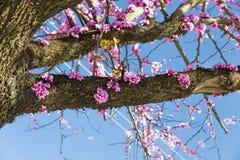 Albero di Redbud nei fiori di rosa di primavera Fotografia Stock