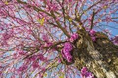 Albero di Redbud nei fiori di rosa di primavera Fotografie Stock