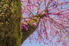 Albero di Redbud nei fiori di rosa di primavera Immagini Stock Libere da Diritti