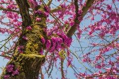 Albero di Redbud nei fiori di rosa di primavera Fotografie Stock Libere da Diritti