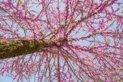 Albero di Redbud nei fiori di rosa di primavera Immagine Stock
