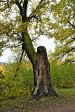Albero di rogdestveno del parco naturale vecchio immagine stock