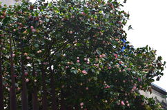 Albero di Rosa Fotografie Stock