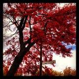 Albero di rosso del fogliame di caduta Fotografia Stock Libera da Diritti