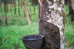 Albero di Ruber Fotografia Stock Libera da Diritti