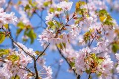 Albero di Sakura nella piena fioritura e nella fioritura Fotografie Stock