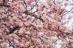 Albero di Sakura in parco Fotografie Stock Libere da Diritti