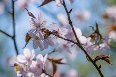 albero di sakura in piena fioritura Fotografie Stock