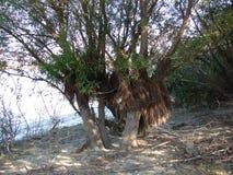 Albero di salice dal fiume di Danubio immagini stock libere da diritti