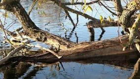 Albero di salice del fiume di Havel con i segni dell'alimentazione del castoro Havelland in Germania stock footage
