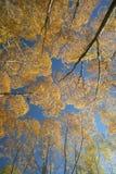 Albero di salice di autunno Immagini Stock Libere da Diritti