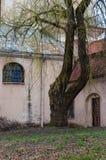 Albero di salice enorme con i rami fantastici che crescono sul cortile della chiesa cattolica abbandonata dell'ascensione sulla v fotografia stock