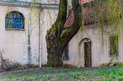 Albero di salice enorme con i rami fantastici che crescono sul cortile della chiesa cattolica abbandonata dell'ascensione sulla v immagini stock libere da diritti