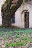 Albero di salice enorme con i rami fantastici che crescono sul cortile della chiesa cattolica abbandonata dell'ascensione sulla v immagini stock