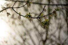 Albero di salice germogliante in primavera con il tramonto nei precedenti fotografie stock