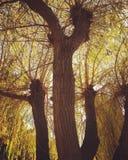 Albero di salice luminoso di autunno Fotografie Stock Libere da Diritti