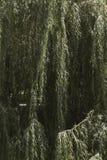 Albero di salice nel parco fotografie stock
