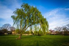 Albero di salice piangente al panettiere Park, in Frederick, Maryland fotografia stock