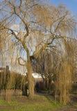 Albero di salice piangente nell'orario invernale Fotografia Stock Libera da Diritti