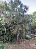 Albero di serotina del pinus in un giardino di cinque sensi Immagine Stock Libera da Diritti