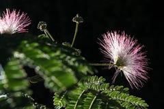 Albero di seta persiano (albizia julibrissin) Fotografie Stock