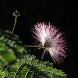 Albero di seta persiano (albizia julibrissin) Fotografie Stock Libere da Diritti