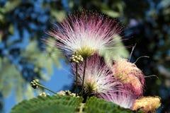 Albero di seta persiano (albizia julibrissin) Fotografia Stock