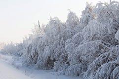 Albero di Snowy Fotografia Stock Libera da Diritti