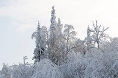 Albero di Snowy Fotografie Stock Libere da Diritti