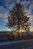 Albero di Snowy in lampadina ad alba Immagini Stock