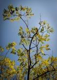 Albero di sorba con cielo blu fotografie stock
