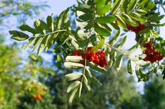 Albero di sorba con le bacche rosse all'autunno fondo, natura, medica Immagini Stock Libere da Diritti