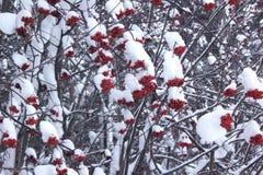Albero di sorba dei rami coperto di neve e di brina immagini stock
