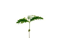 Albero di tamarindo neonato della plantula Fotografia Stock Libera da Diritti
