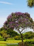 Albero di Tibouchina in piena fioritura Fotografie Stock