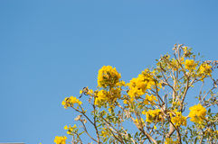 Albero di tromba d'argento, albero di oro Immagini Stock Libere da Diritti
