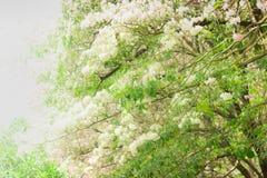 Albero di tromba dentellare I fiori sono fiorire bella fotografie stock libere da diritti