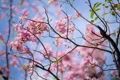 Albero di tromba o rosea rosa di Tabebuia Fotografia Stock